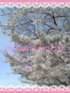2011 桜