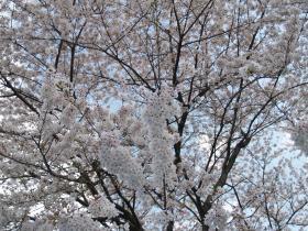 記念公園桜