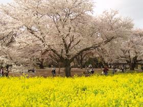 記念公園桜・菜の花