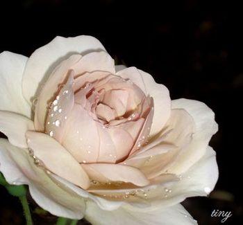 7月8日の薔薇