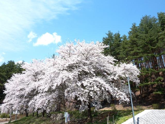 桜 4月24日 030