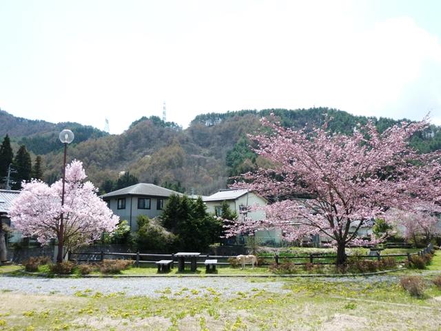 桜 4月24日 060
