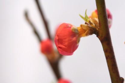 桃の花によせて。。。
