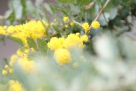 ミモザの黄色