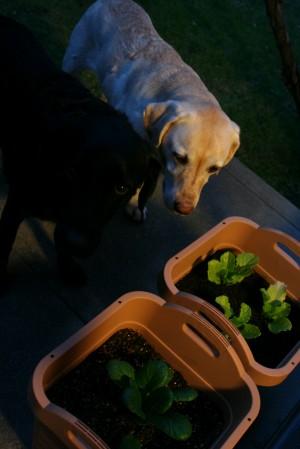 なんちゃって菜園