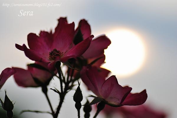 夏至のバラ
