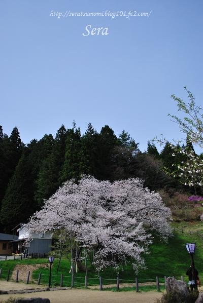 臥龍桜 ~高山~