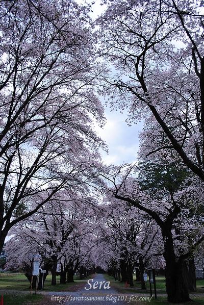 桜 長野牧場にて 2011.5.1