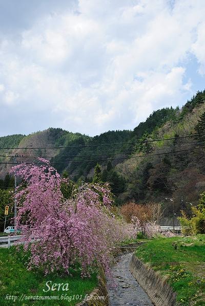 高山 枝垂桜