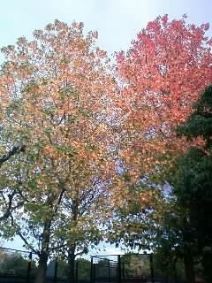 紅葉葉楓 紅葉1