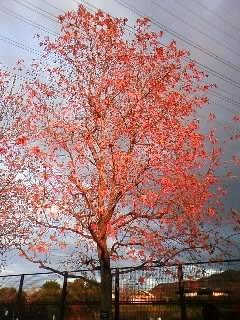 紅葉葉楓 木 夕日