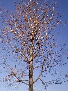 紅葉葉楓 木