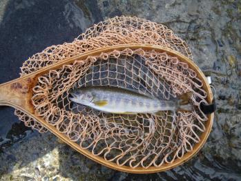 2匹目の岩魚君