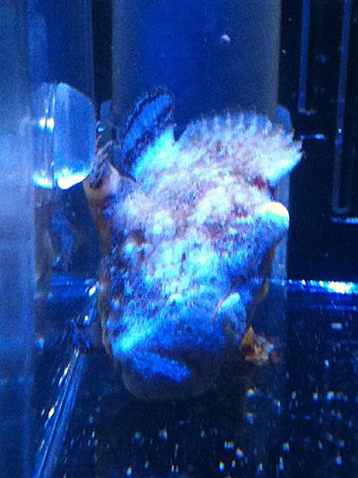 カエルアンコウモドキかも