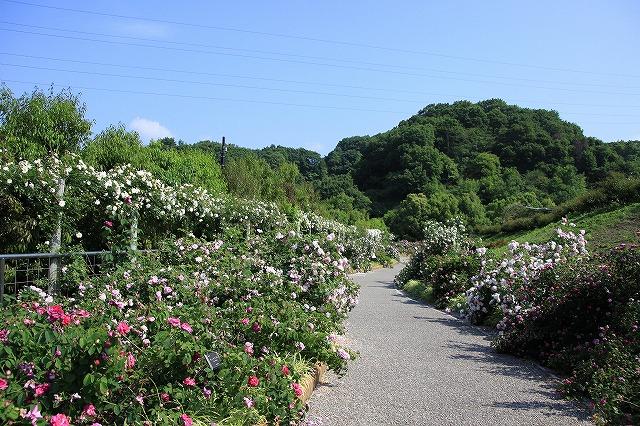 IMG_0826花フェスタ記念公園