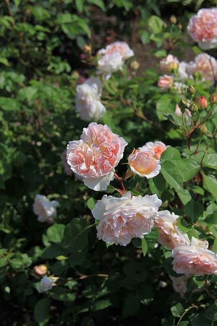 IMG_0928花フェスタ記念公園