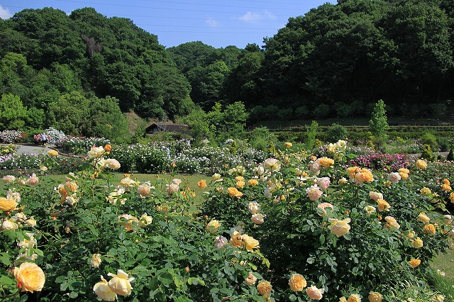 IMG_0932花フェスタ記念公園