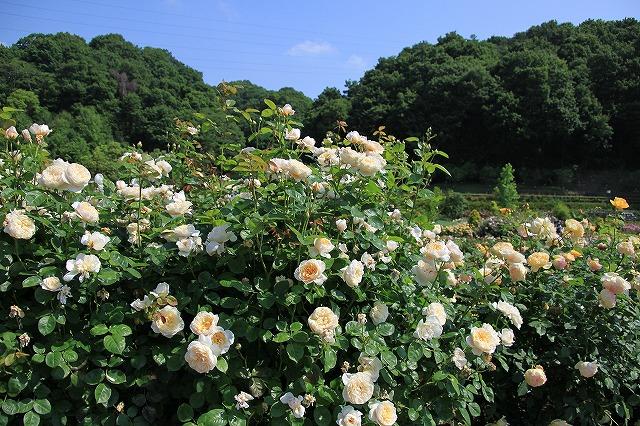 IMG_0936花フェスタ記念公園