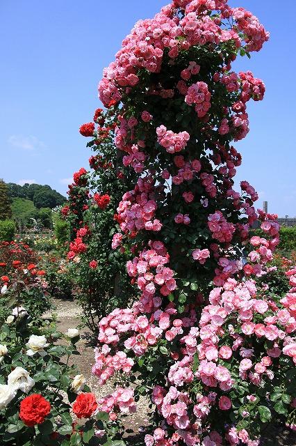 IMG_1220花フェスタ記念公園