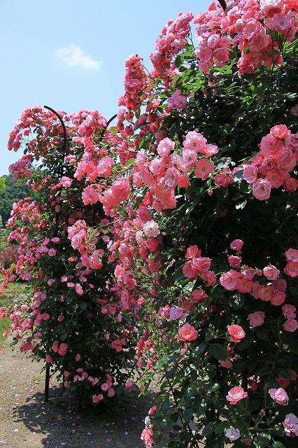 IMG_1234花フェスタ記念公園