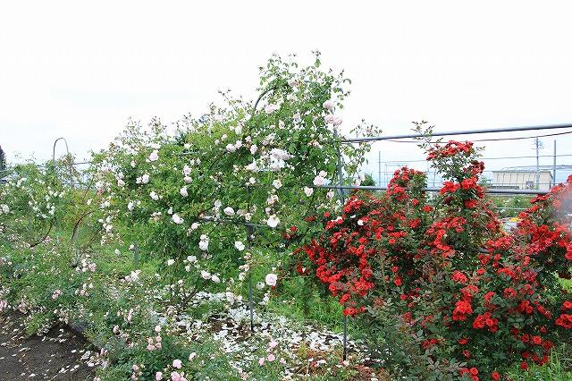 IMG_3840安曇野バラのお宅訪問