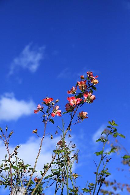 IMG_8727安曇野バラのお庭