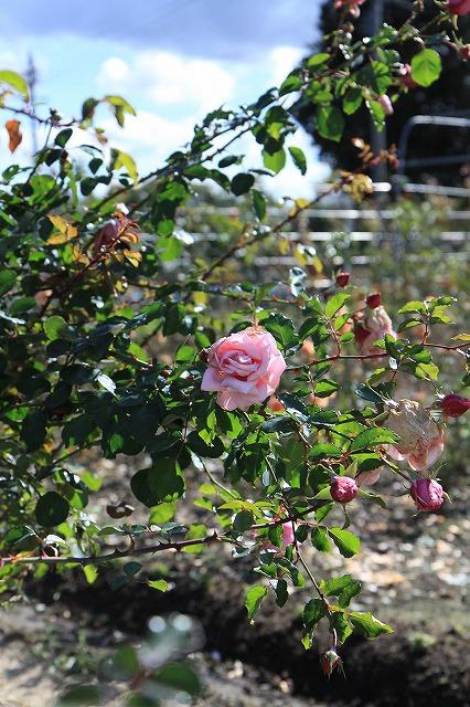 IMG_8627安曇野バラのお庭