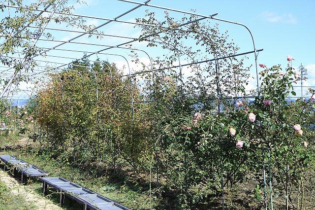 IMG_8638安曇野バラのお庭