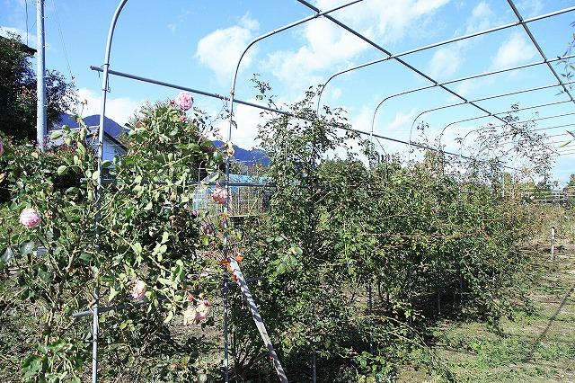 IMG_8644安曇野バラのお庭