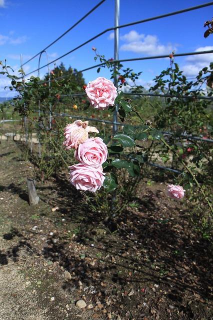 IMG_8667安曇野バラのお庭