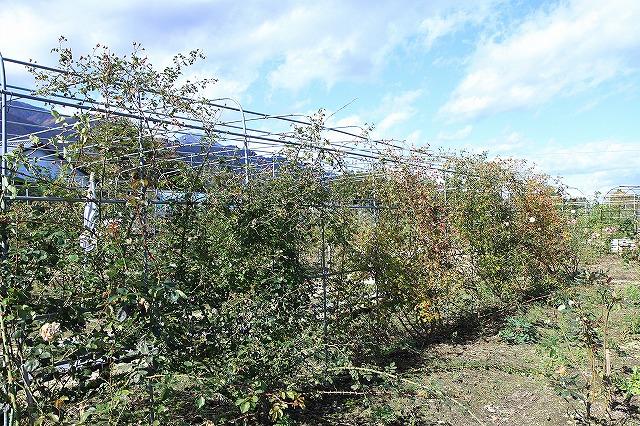 IMG_8692安曇野バラのお庭