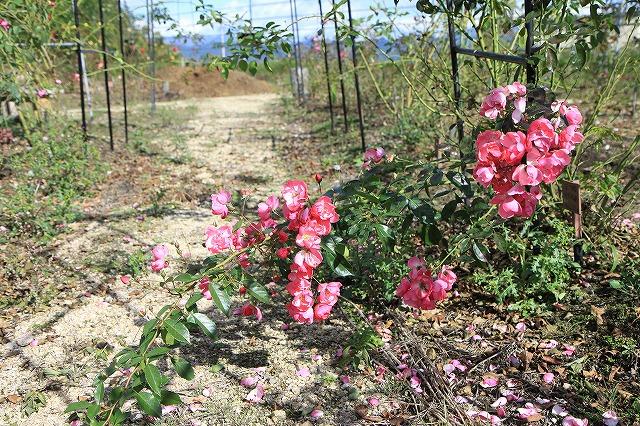 IMG_8712安曇野バラのお庭
