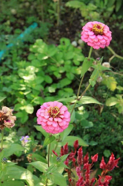 IMG_8401実家の庭