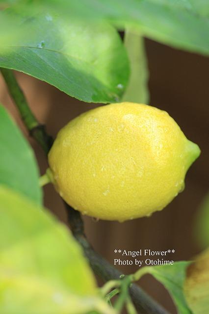 IMG_9889レモンは13個^^