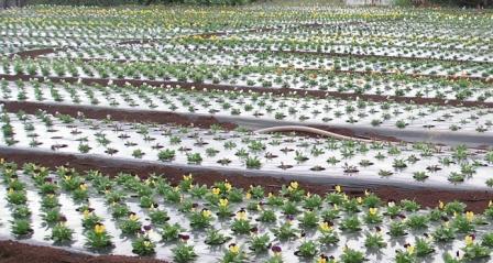 パンジー畑