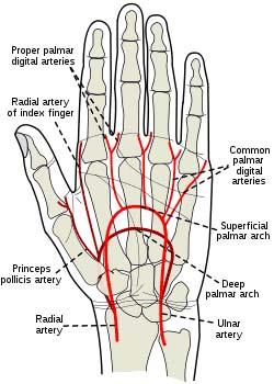 手の動脈図