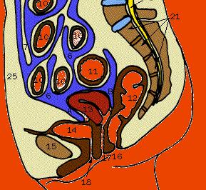 腹膜の図1