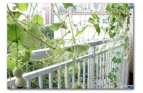 瓢箪収穫2