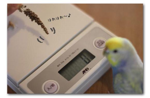 ○○の秋 ピーちゃん体重計1