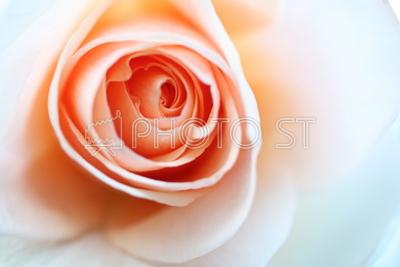 薔薇。。。