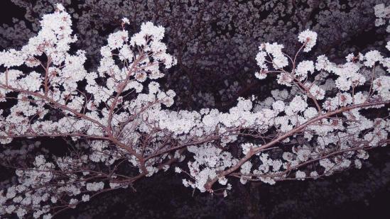 2011/04/10/愛媛ハイランドレイク夜桜