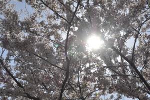 04.14桜1