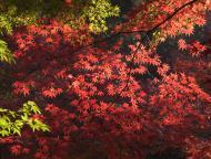 小国神社の紅葉6