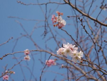 20091123 十月桜-1