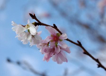 20091123 十月桜-2