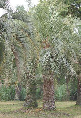 091129 ブラジルヤシの樹