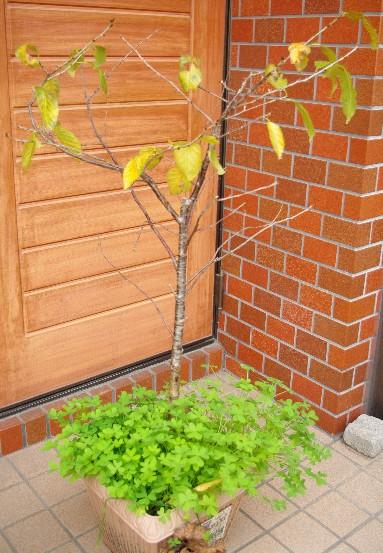 091223暖地桜桃全体