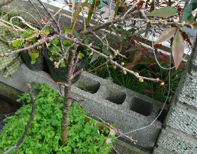20100220暖地桜桃