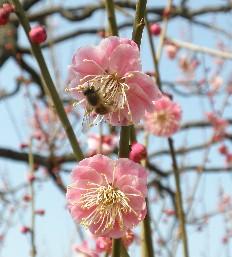 100223蜂と梅