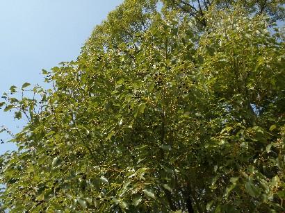 100223黒い実の木